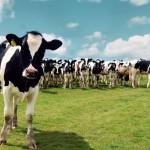 Melken van koeien