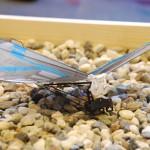 BOLT is een robot vogel die dezelfde vliegeigenschappen heeft als een vogel.